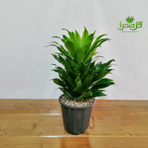 دراسینا کامپکت موجود در تولیدی گل صحرا