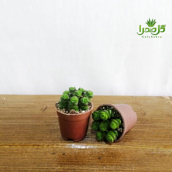 ساکولنت فنری تولید گل صحرا
