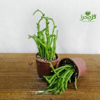ساکولنت بندکفشی تولید گل صحرا
