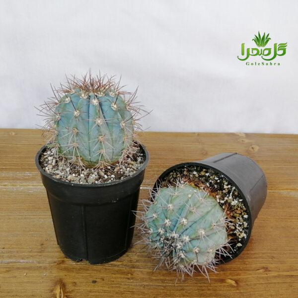 ملو تیغ آبی تولید گل صحرا