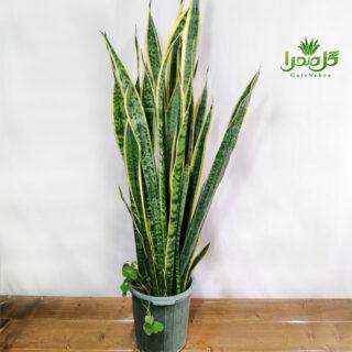 سانسوریا لب طلایی شیک و خاص در تولیدی گل صحرا