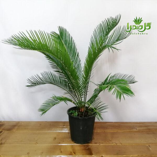 سیکاس گیاهی راحت برای نگهداری