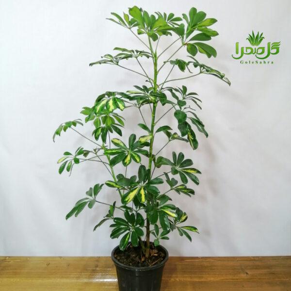 سفلرا گیاهی مقاوم و زیبا
