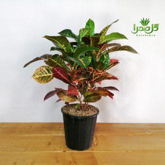 کروتن از گیاهان زیبای آپارتمانی