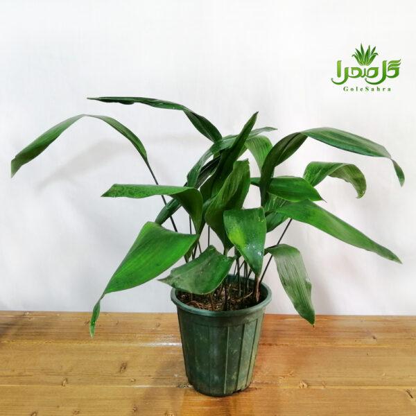 برگ عبایی گیاهی خاص و مقاوم