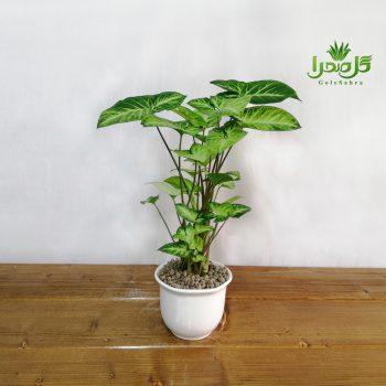 سینگنیوم مینیاتور گیاهی زیبا برای دکوراسیون منزل