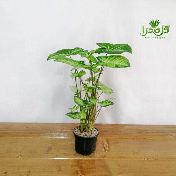 سینگنیوم مینیاتور موجود در تولیدی گل صحرا