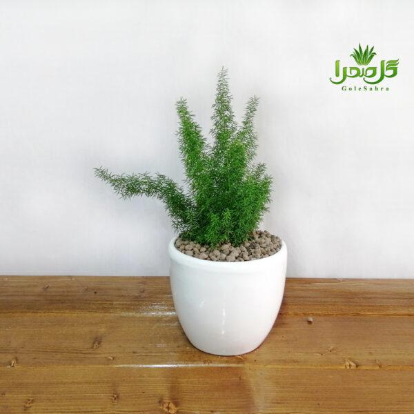 دم روباهی در تولیدی گل صحرا، همیشه سبز