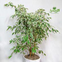 بنجامین سیلور درختچه ای زیبا برای دکوراسیون مدرن