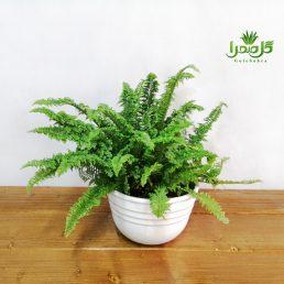 سرخس فر موجود در تولیدی گل صحرا