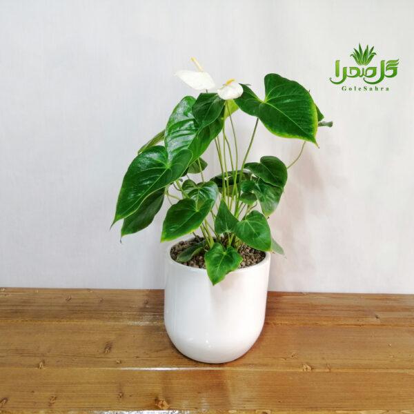 آنتریوم گیاهی زیبا و مقاوم در گل صحرا