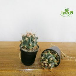 کاکتوس فرو هریدوس تولید گل صحرا