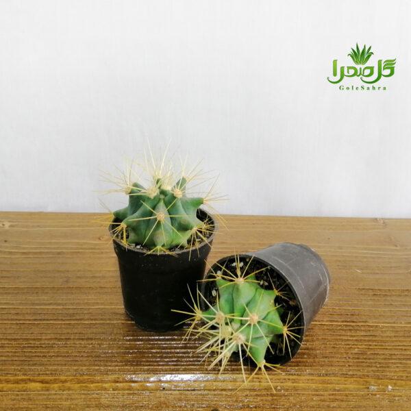 فرو تیغ زرد تولید در گل صحرا
