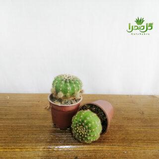 اچینو اپسیس موجود در تولیدی گل صحرا