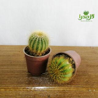 نوتو خورشیدی تولید گل صحرا