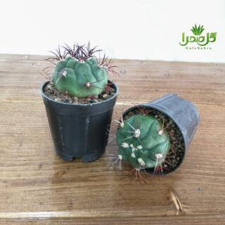 بروچی کاکتوسی خاص و زیبا تولید در گل صحرا