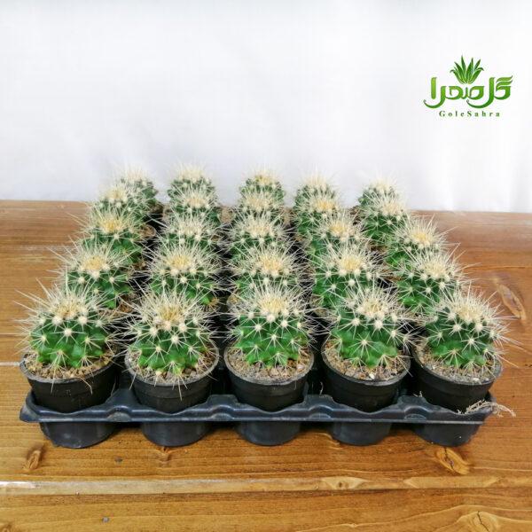 اچینو تیغ سفید موجود در تولیدی گل صحرا