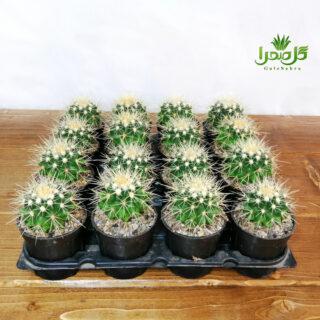 اچینو تیغ سفید تولید عمده در تولیدی گل صحرا