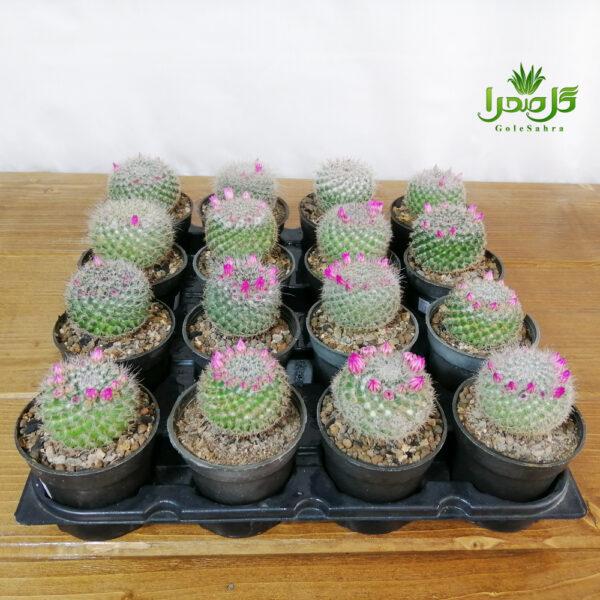مامیلاریا هانیانا رو گل فروش عمده در تولیدی گل صحرا