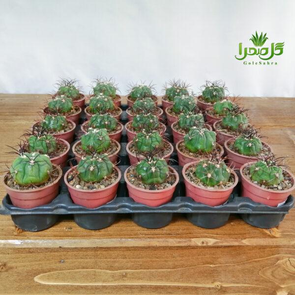 فرو هریدوس تولید عمده در گل صحرا