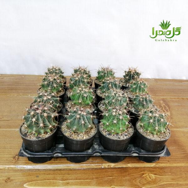 فرو هریدوس تولید عمده در گل صحرا، فروض عمده کاکتوس
