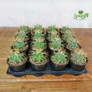 فرو تیغ زرد بهترین کیفیت تولید عمده در گل صحرا