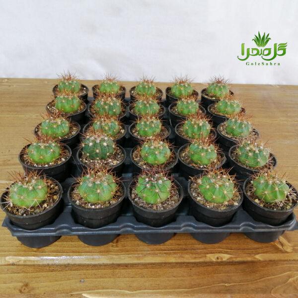 کاکتوس ملو فروش عمده در تولیدی گل صحرا