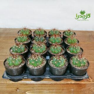 کاکتوس ملو سایز 8 تولید عمده در گل صحرا