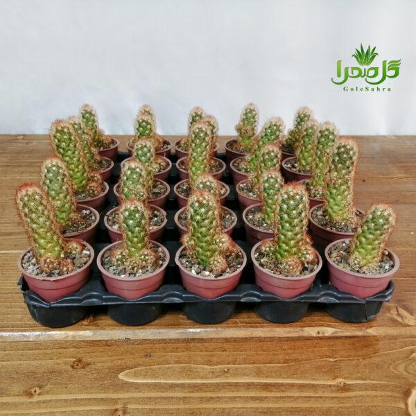 الگانتا قرمز گلدان 6 فروش عمده موجود در تولیدی گل صحرا