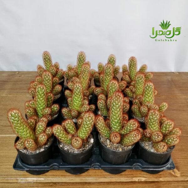 الگانتا قرمز سایز 8 پرریشه عمده در تولیدی گل صحرا