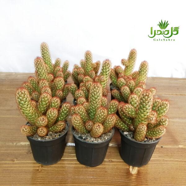 الگانتا قرمز بسیار با کیفیت موحود در تولیدی گل صحرا