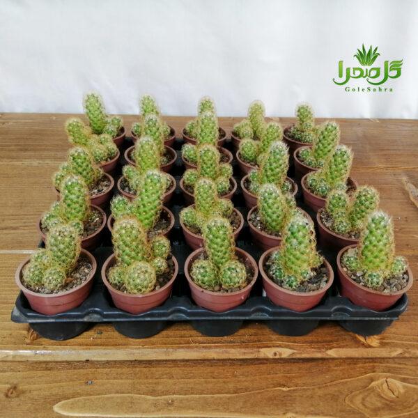 الگانتا طلایی سایز 6 فروش عمده کاکتوس در تولیدی گل صحرا