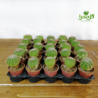 اچینو اپسیس عمده در تولیدی گل صحرا