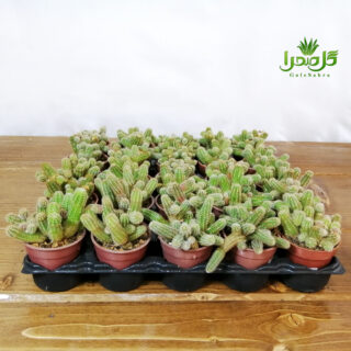 کاماسرئوس گلدان 6 فروش عمده موجود در تولیدی گل صحرا