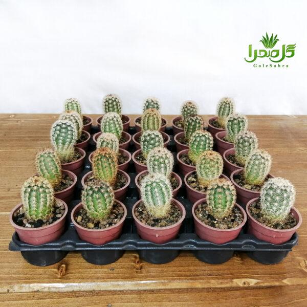اچینوسرئوس پرریشه بهترین کیفیت در تولیدی گل صحرا