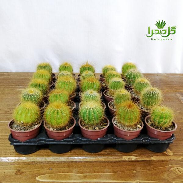 کاکتوس عمده، پرریشه، بهترین کیفیت در تولیدی گل صحرا