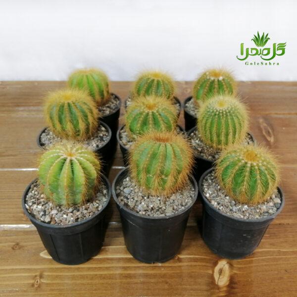 کاکتوس نوتو عمده در تولیدی گل صحرا