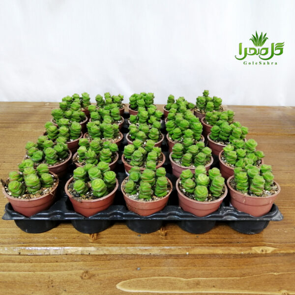 ساکولنت فنری فروش عمده در تولیدی گل صحرا