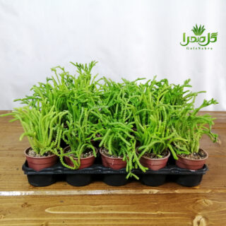 ساکولنت بندکفشی فروش عمده در تولیدی گل صحرا