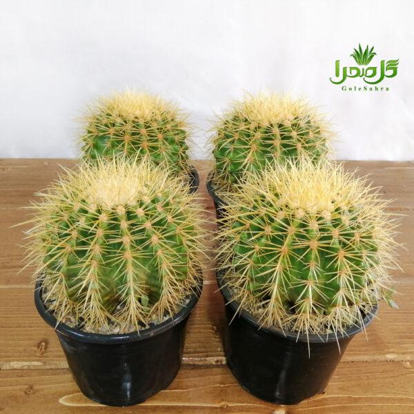 اچینو تیغ زرد عمده، کاکتوس بهترین کیفیت در تولیدی گل صحرا
